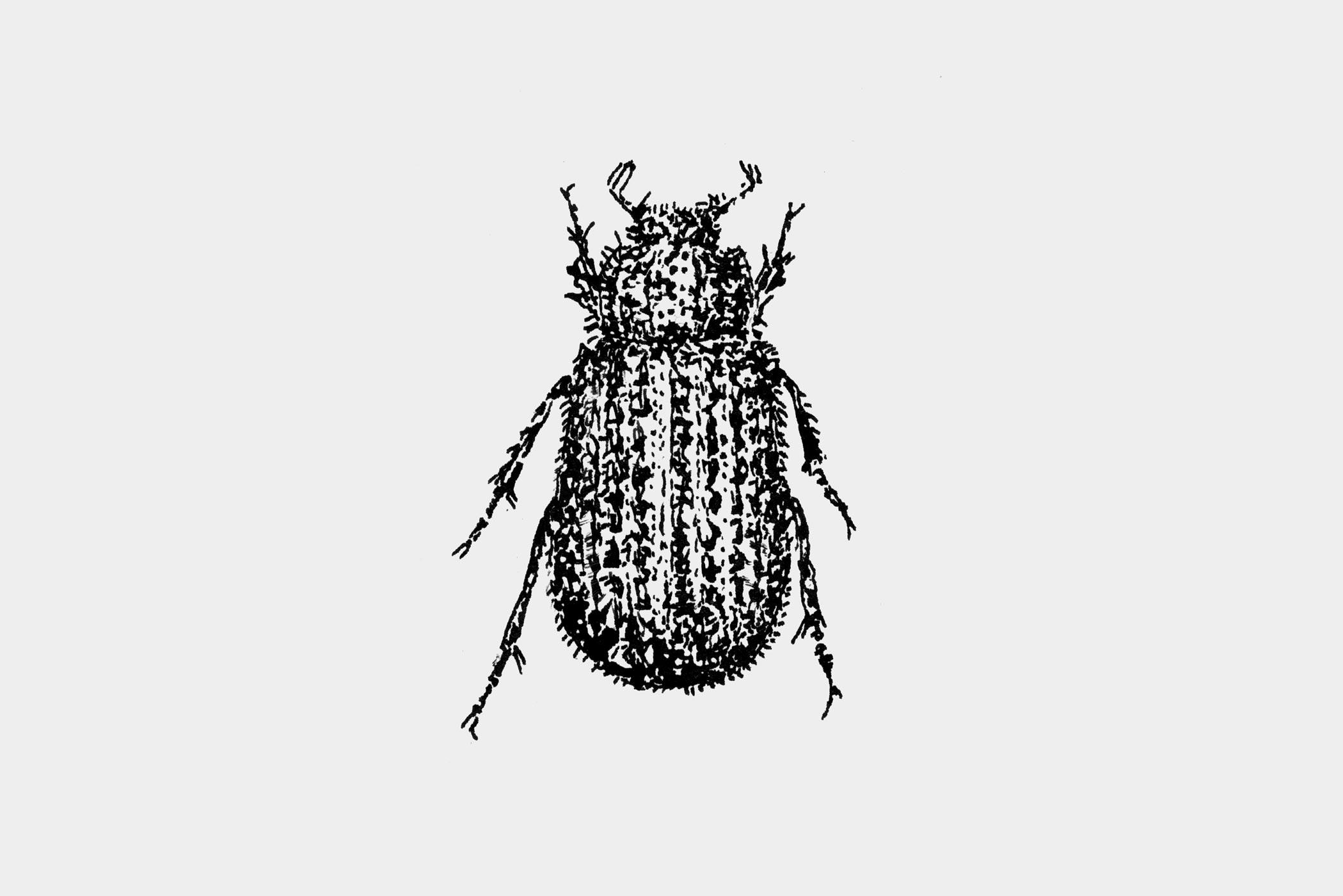 """Federzeichnung eines Käfers, gezeichnet von Christian Thanhäuser als Illustration für die 10-bändige Buchserie """"Erinnerungen eines Insektenforschers"""" von Jean-Henri Fabre für den Verlag Matthes & Seitz Berlin"""